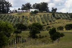 la-cosecha-de-aceitunas-1