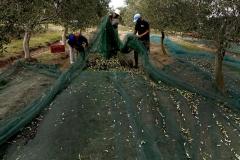 la-cosecha-de-aceitunas-10