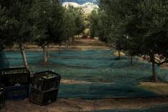la-cosecha-de-aceitunas-12