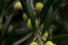 la-cosecha-de-aceitunas-2